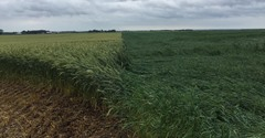 High Octane Triticale and Goliath Oats